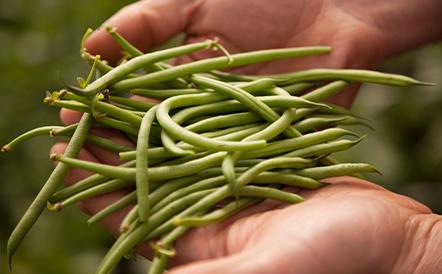 filiere-haricotvert-bio-jardinbio-leanature
