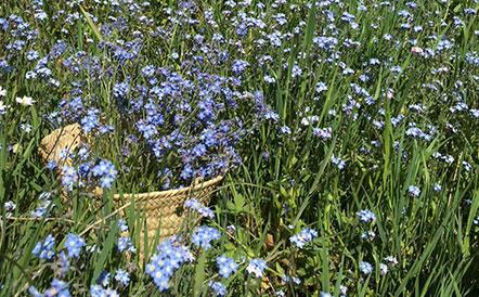 fleur-myosotis-la-source-leanature
